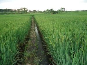 10 Rice flowering