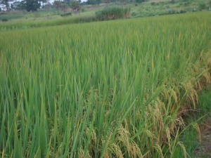 11 Rice maturing